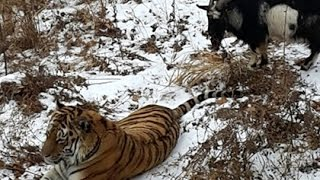Safari Park / Russia Timur Goat Loves Amur Tiger