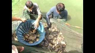 ปลาหมอไทยกับว�...