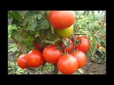 Сорт томата - Джина# Характеристика и описание  томата | характеристика | выращивание | вредителями | описание | огранома | томатом | томата | советы | борьба | томат