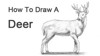 How to Draw a Deer (White-Tailed)