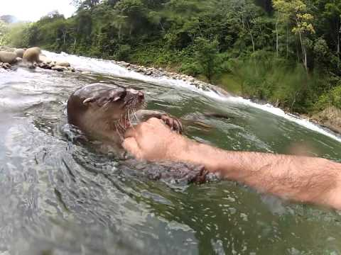 Swimming with river otter in the Chagres River Panama