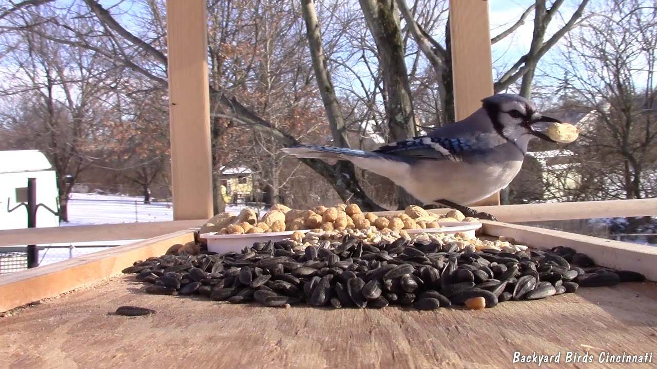 Tray Feeder Video: Blue Jays, Nuthatches, Mockingbirds, Cardinals, Tanager and more (1/20/2019 ...