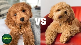 Labradoodle Vs Goldendoodle Difference   Which One Is Right For You?