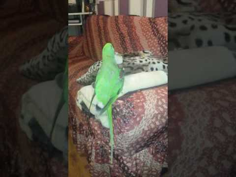 Alex the parrot playing with a piece of wood