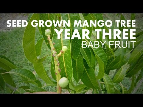 Mango Tree From Seed To Fruit