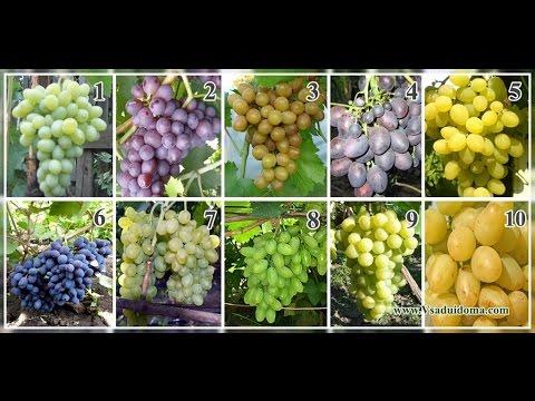 Сорта винограда более 80 сортов, фото как выглядит размер ягод и кисти.топ 10 сортов. | выращивание | винограда | виноград | поздний | сортов | ранний | сорта | обзор | веног | фото