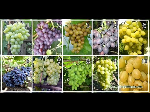 сорта винограда более 80 сортов, фото как выглядит размер ягод и кисти