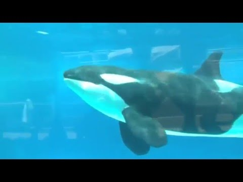 Sea World announces end to killer whale breeding