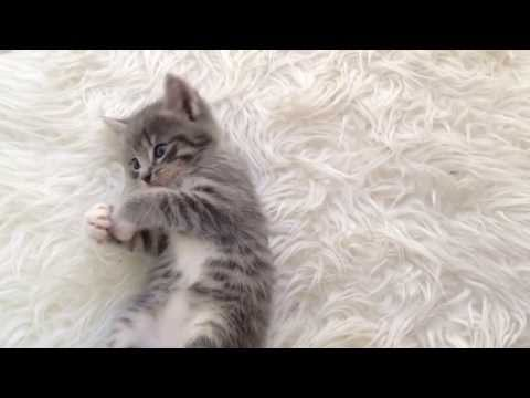CUTE grey kitten playing