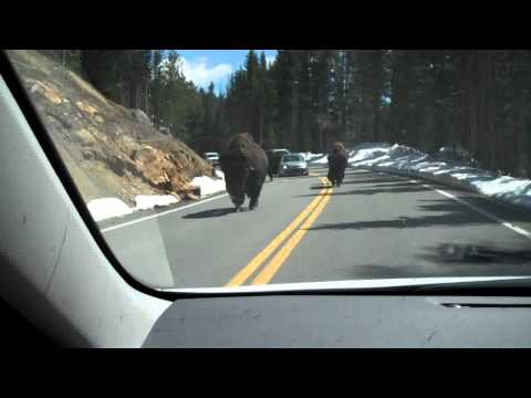 Bison in Road Mount Washburn - Yellowstone - June 21, 2011
