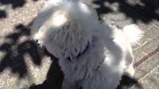 Buster, Maltese Mix- Id# 291502