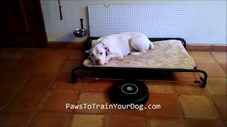 Falkor & the Roomba - Paws To Train Your Dog - Phoenix Dog Trainer