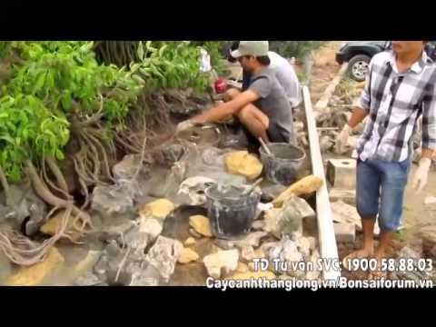 Kỹ thuật ghép cây lên đá | Hướng dẫn chăm sóc cây | Caycanhdep.vn