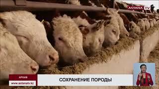 «Казахская белоголовая порода КРС на грани исчезновения» - депутат