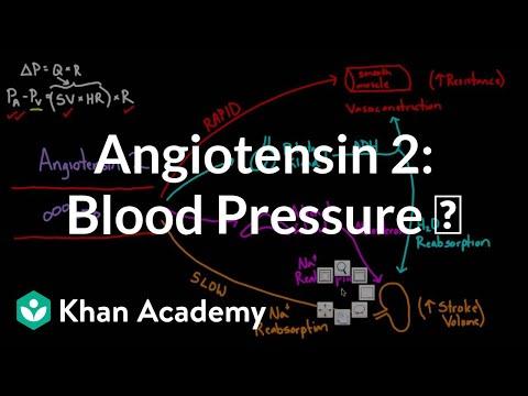 Angiotensin 2 raises blood pressure