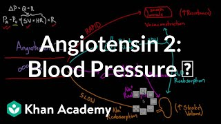Angiotensin 2 raises blood pressure
