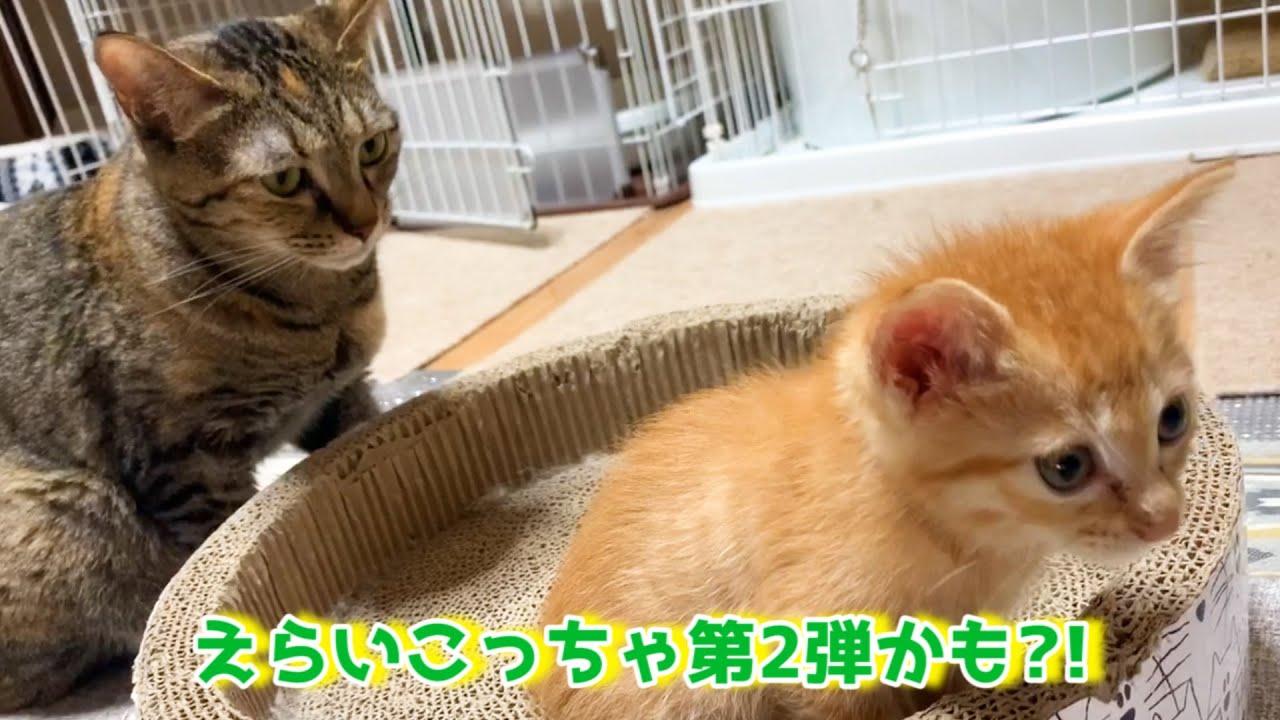 子猫への愛情表現が空回りする柴犬と徐々に子猫と仲良くなろうとする先住猫
