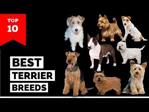Terrier Breeds – Top 10 Popular Terrier Dogs
