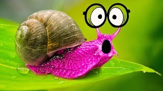 AWESOME Facts About SUPER-SIZED SNAIL!