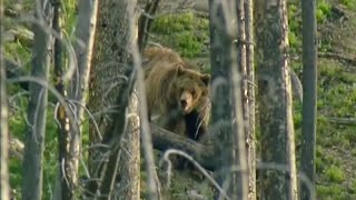Bear Attack  - Transylvania: Living with Predators - BBC