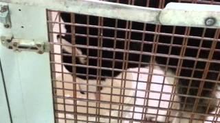 Husky Dog At Sharjah Animals Market. 03.06.2014