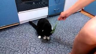 Кошка любит траву (как коза) часть 2!!!!!)