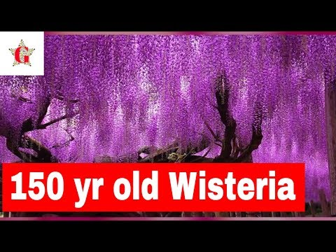 Amazing 150 yr old Wisteria Tree | Best Travel Destination in Japan | Japan Tourism | Asia Travel |