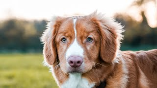 Nova Scotia Duck Tolling Retriever | My Next Dog