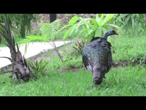 Kara Sun birding in Guatemala -Tikal - Part 2