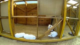 Щенки самоедской собаки, питомник Ристикент #4