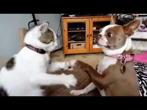 Sophie the Boston Terrier vs Poindexter the boxing Cat