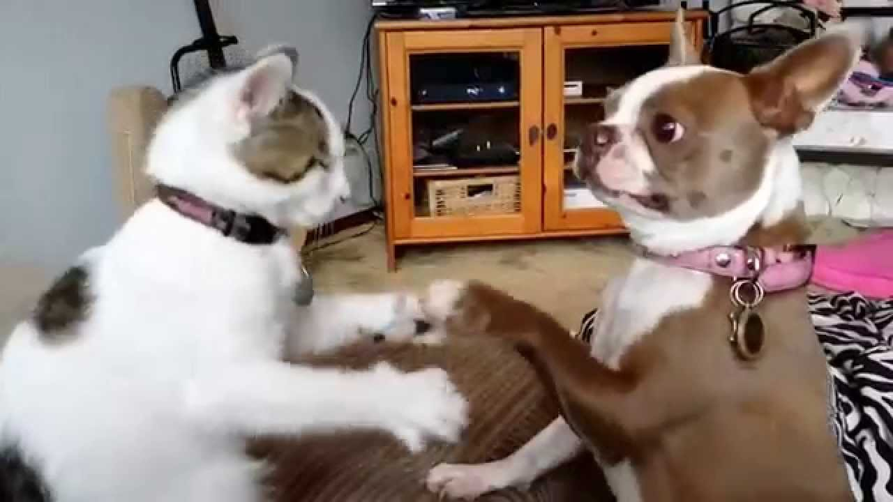 boston terrier and cats sophie the boston terrier vs poindexter the boxing cat 1809