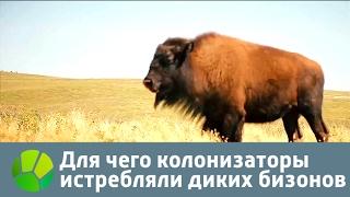 Для чего колонизаторы истребляли диких бизонов | Живая Планета