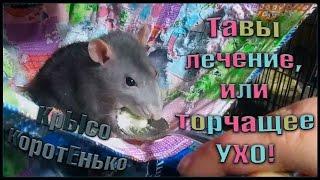 Тавы лечение, или торчащее УХО! (Fancy Rats | Декоративные крысы)