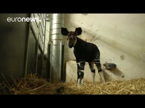 Baby okapi still finding its feet at Copenhagen Zoo