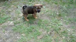 Ani Puppy Gone Crazy Cairn Terrier X Chihuahua