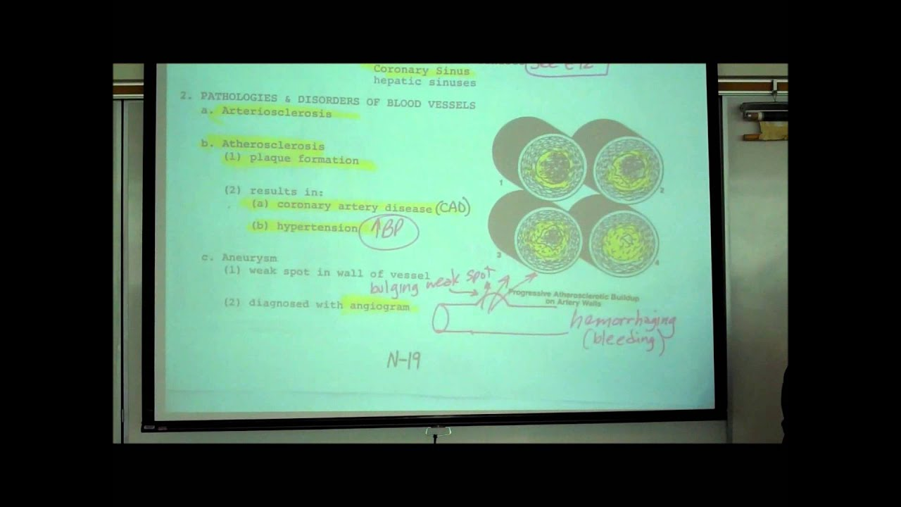 ANATOMY; CIRCULATORY SYSTEM; PART 5; HISTOLOGY OF BLOOD VESSELS by ...