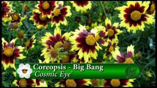Plant pick - Coreopsis Cosmic eye