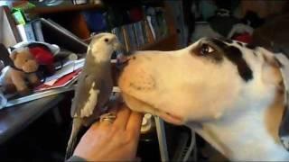 Cockatiel & Great Dane puppy mouth wrestling