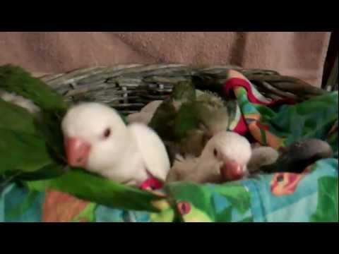 Green, Blue and Albino Quaker Babies at 3-4 weeks old