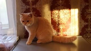 Кремовая британская кошка Эсте - 4,5 месяца