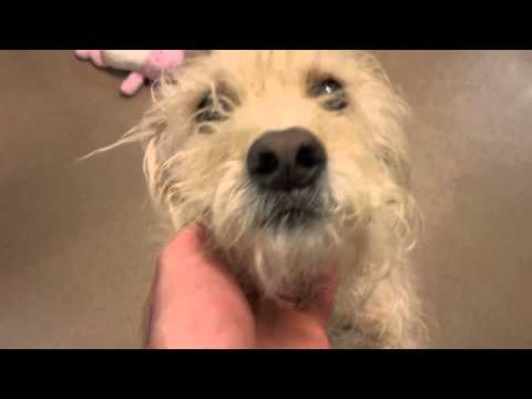 Tanner a 4 year old Wheaten Terrier available for adoption at the Wisconsin Humane Society