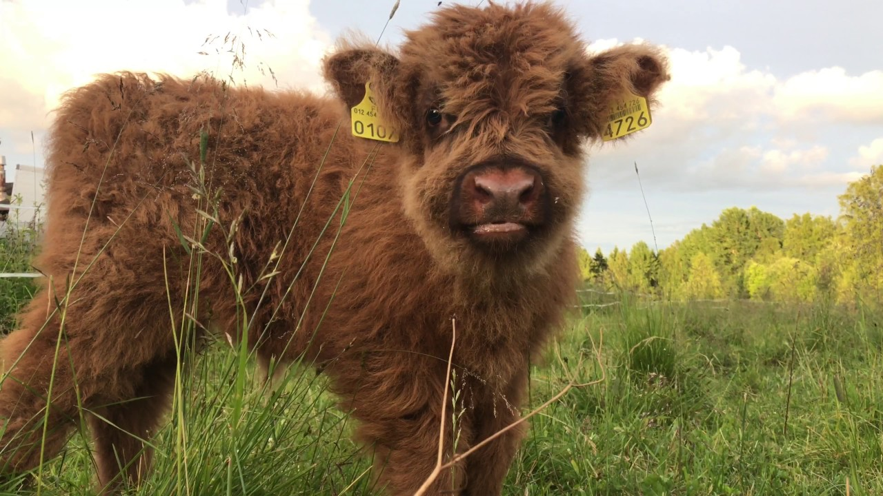 Scottish Highland Cattle In Finland: Fluffy calf in 4K ...