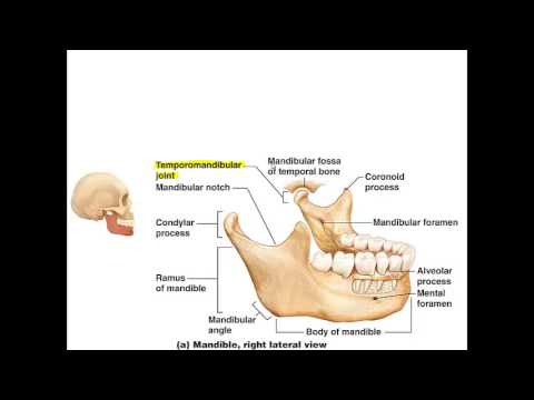 Chapter 7   Lecture B Facial Bones
