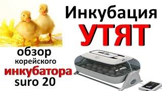 видео Инкубация утиных яиц