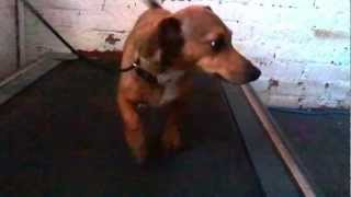 Nala the Daschund on Treadmill Warming Up for Our Walk