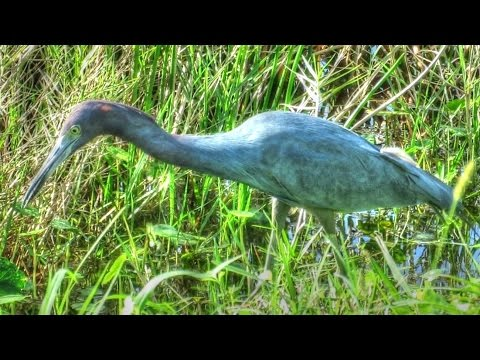 Little Blue Heron Hunting - Up Close