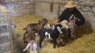 Kůzlata kozy anglonubijské 2018 Farma Hamr