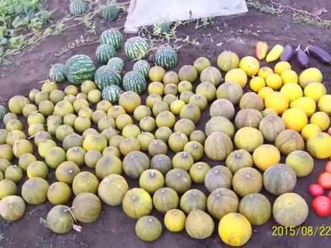 Самый легкий способ выращивания дынь в средней полосе | приусадебный | выращивание | агротехнол | агропанель | агропанели | бахчевых | участок | средней | полосе | огород