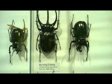 Tiêu bản các loại bọ cánh cứng Việt Nam